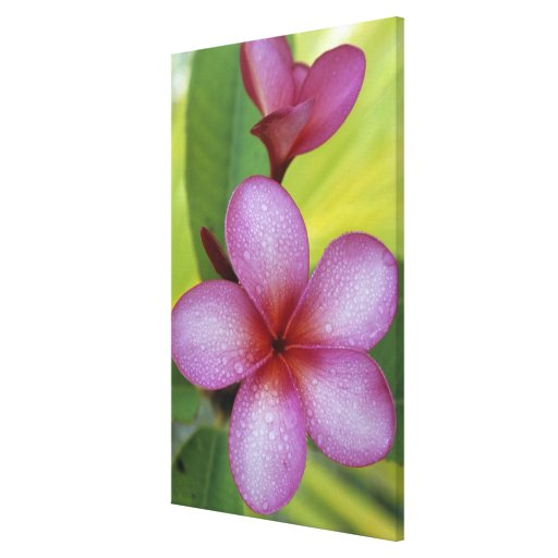 Flower, Plumeria sp.), South Pacific, Niue Stretched Canvas Print