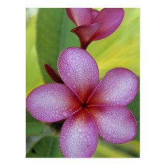 Flower, Plumeria sp.), South Pacific, Niue Postcard