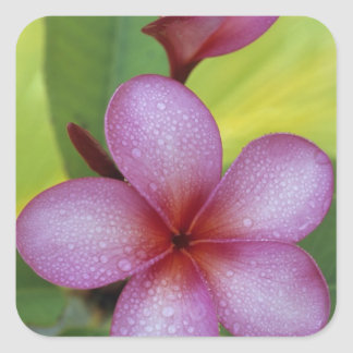 Flower, Plumeria sp.), South Pacific, Niue Square Sticker