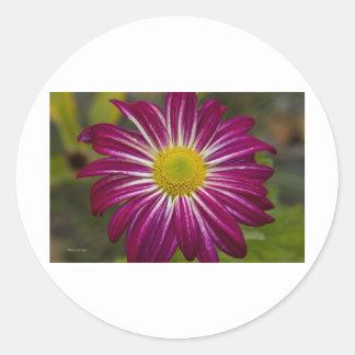 Flower power púrpura del aster pegatina redonda
