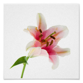 Flower Set 3 - Pink Lilly Poster
