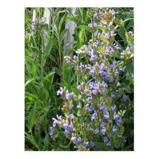 Flowering Blue Sage Blank Postcards