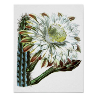 Flowering Cactus No1 Vintage Natural History Print