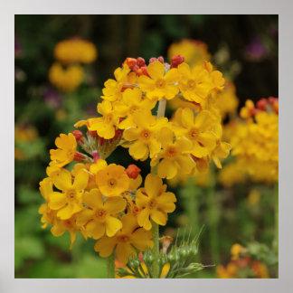 Flowering Candelabra Primula Poster