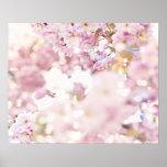 Flowering cherry (Prunus serrulata), close up Posters