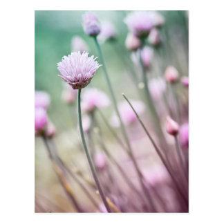 Flowering chives I Postcard