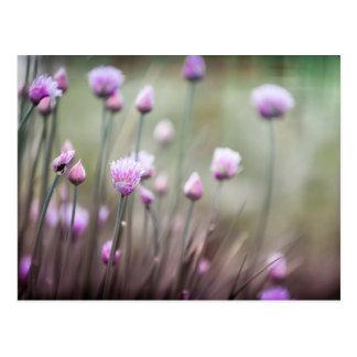 Flowering chives II Postcard