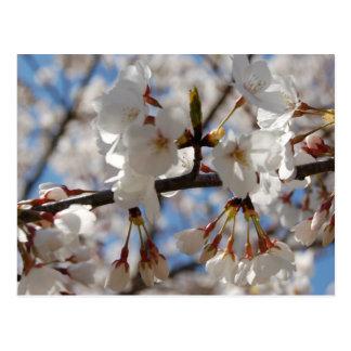 Flowering Crabapple Blossoms Postcard