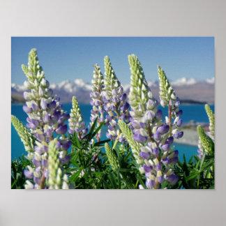 Flowering Lupine New Zealand Landscape Poster