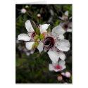 Flowering Manuka Tree
