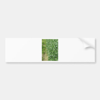 Flowering peas plant in a field . Tuscany, Italy Bumper Sticker