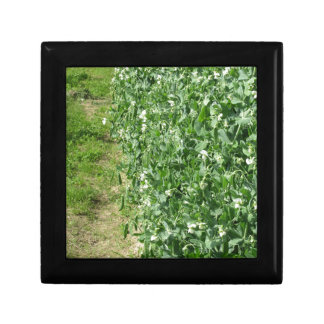 Flowering peas plant in a field . Tuscany, Italy Gift Box