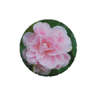 Flowering Pink Camelia Jelly Belly Tin