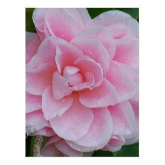 Flowering Pink Camelia Postcard