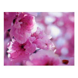 Flowering Plum Tree Blossom Postcard