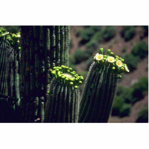 Flowering Saguaro Photo Cut Out