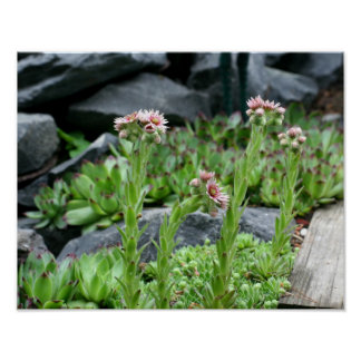 Flowering Succulents Hens And Chicks Poster