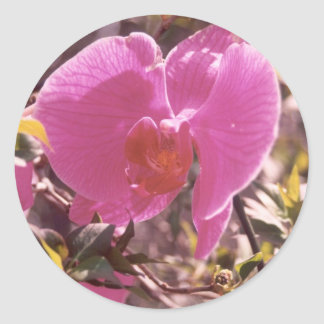 Flowering Sweet Pea Classic Round Sticker