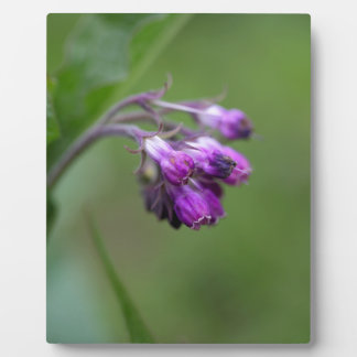 Flowers and blossoms of common comfrey plaque
