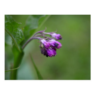 Flowers and blossoms of common comfrey postcard