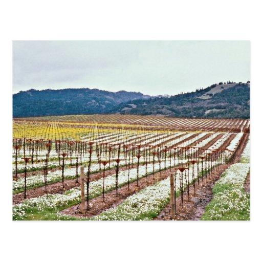 Flowers in vineyard, Alexander Valley, California, Postcard