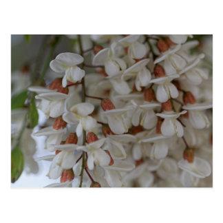 Flowers of a black locust postcard