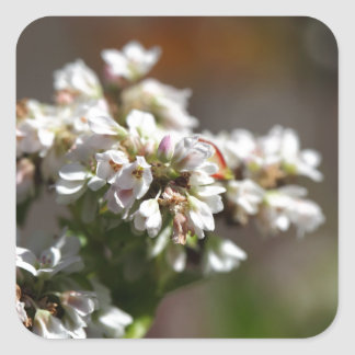 Flowers of a Buckwheat plant (Fagopyrum esculentum Square Sticker
