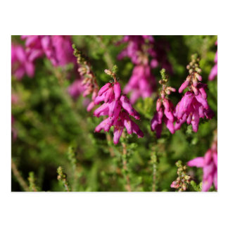 Flowers of a Dorset heath (Erica cilaris) Postcard