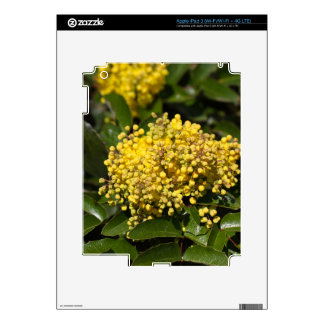 Flowers of a Oregon grape bush Skins For iPad 3
