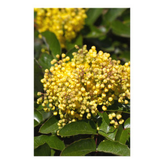 Flowers of a Oregon grape bush Stationery