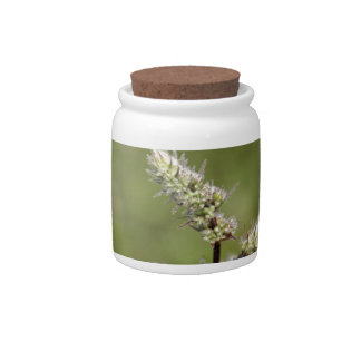 Flowers of a peppermint plant, Mentha x piperita Candy Jars