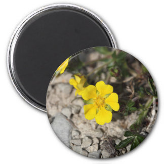 Flowers of a spring cinquefoil or spotted cinquefo magnet