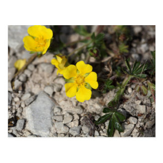 Flowers of a spring cinquefoil or spotted cinquefo postcard