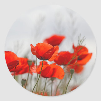 Flowers of common poppy in a field. classic round sticker