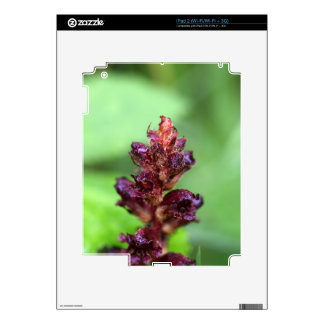 Flowers of the broomrape Orobanche gracilis Decals For The iPad 2