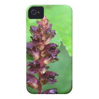 Flowers of the broomrape Orobanche gracilis iPhone 4 Case