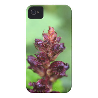 Flowers of the broomrape Orobanche gracilis iPhone 4 Cover