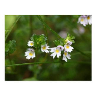 Flowers of the Eyebright Euphrasia rostkoviana Postcard