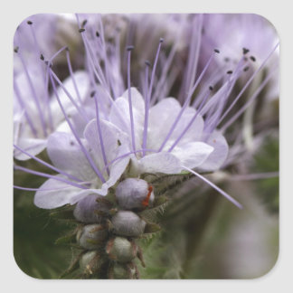 Flowers of the lacy phacelia square sticker