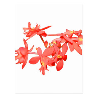 Flowers Salmon Tinted Ground Orchid Postcard