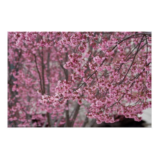 Flowing Pink Japanese Cherry Blossoms Poster