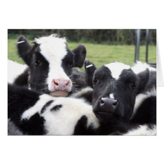 Fluffy Calves Greetings Card