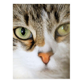 Fluffy Cat Close up Postcard