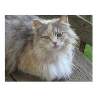 Fluffy Cat Postcard