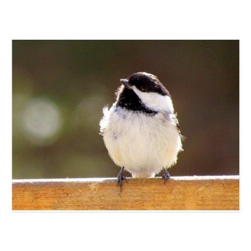 Fluffy Chickadee Postcard