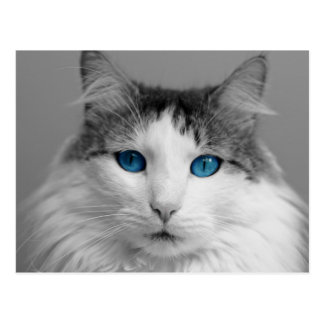 Fluffy Gray and White Blue-Eyed Cat Postcard