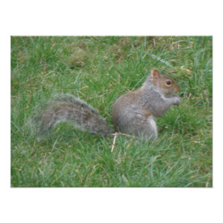 Fluffy Gray Squirrel Poster