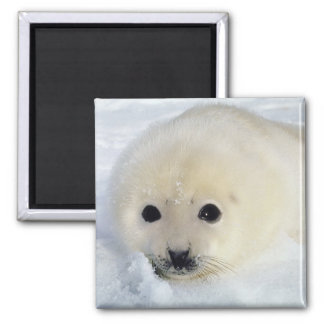 Fluffy Harp Seal Pup 2 Inch Square Magnet