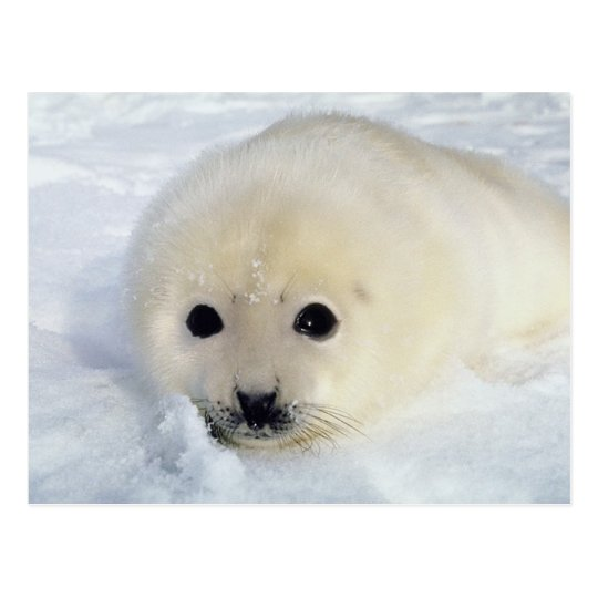 Fluffy Harp Seal Pup Postcard