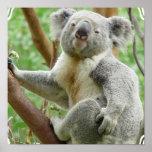 Fluffy Koala Poster
